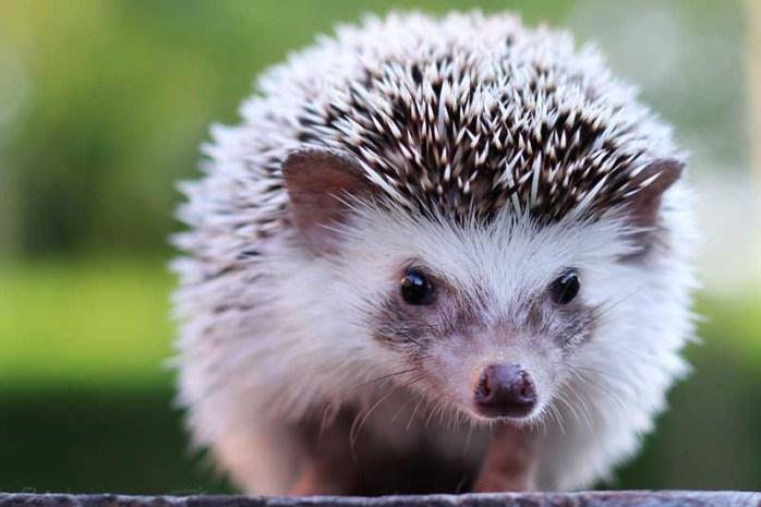 african-pygmy-hedgehog