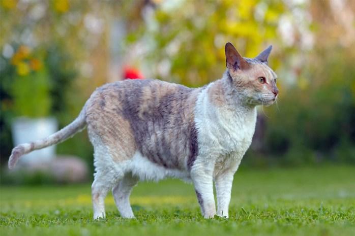 cornish-rex-cat-breed