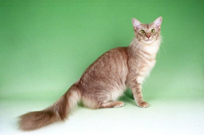 javanese-cat-breed