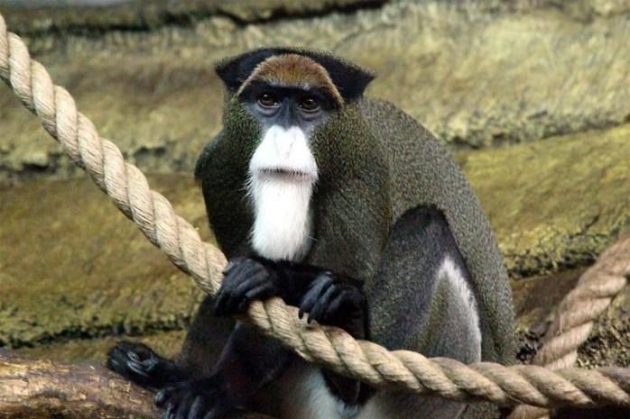 de-brazzas-monkey