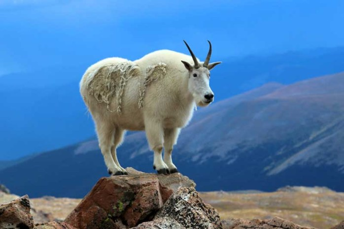 mountain-goat
