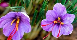 saffron-crocus