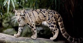clouded-leopards