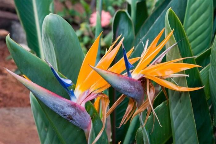bird-of-paradise-beautiful-flower