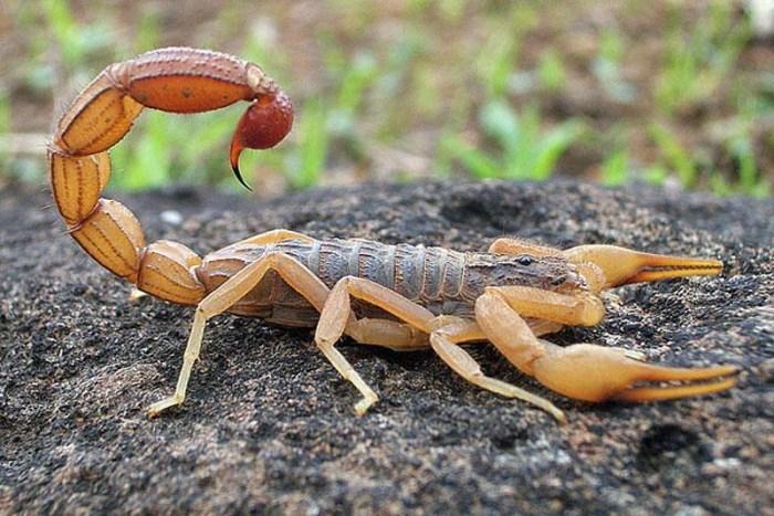 deathstalker-scorpio-toughest-animal