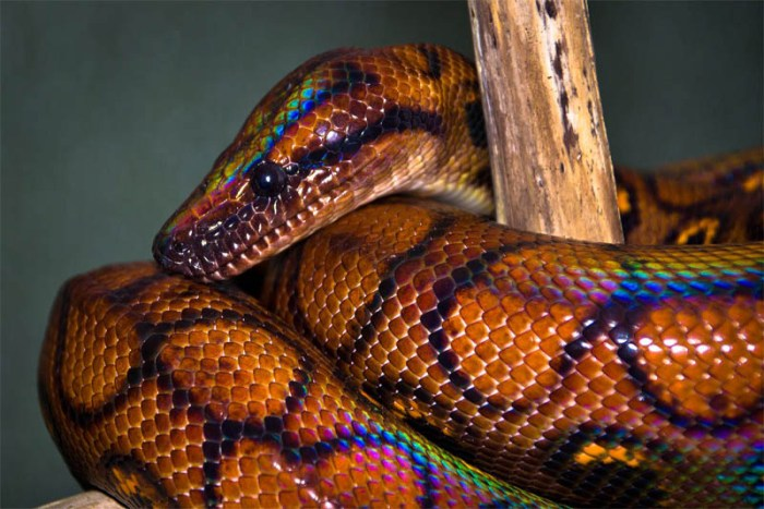 rainbow-boa-beautiful-snake