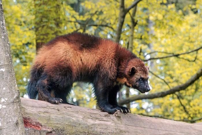wolverine-toughest-animal