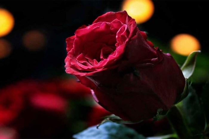 rose-beautiful-flower