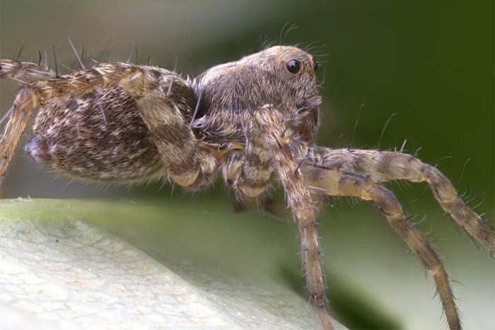 wolf-spider-scariest-spiders