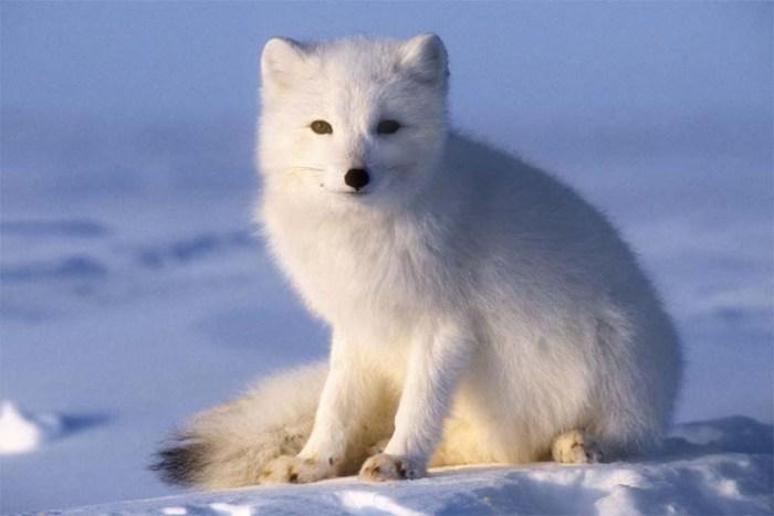 arctic-fox-cold-weather-animals