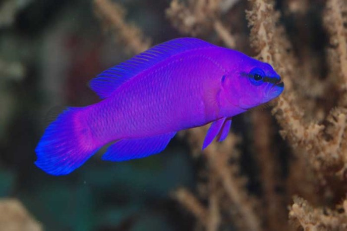 orchid-dottyback-purple-animals