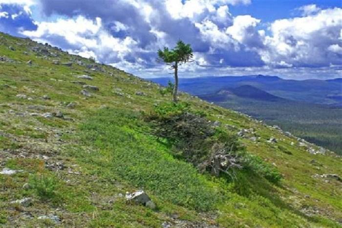 old-rasmus-oldest-tree