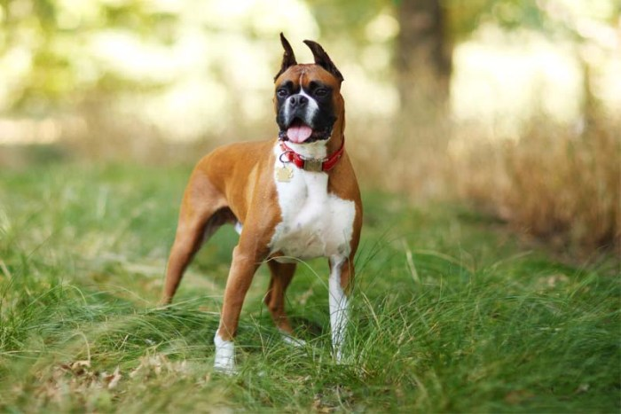 boxer-german-breed-dogs