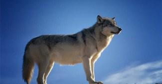 wolf-apex-predators