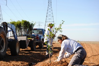 planting walnut saplings