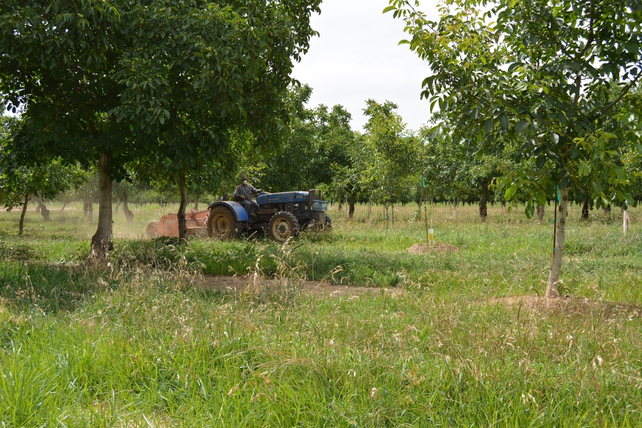 blue tractor mowing walnut orchard