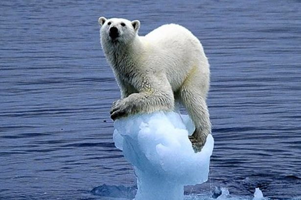 Isbjørnbestanden vokser. Klimatrusselen mot bestanden var feil.