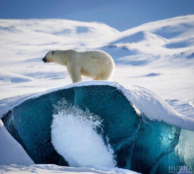 Isbjørnbestanden vokser med bedre tilgang til mat.