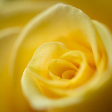 Der Inselfotograf - Rügen - gelbe Rose