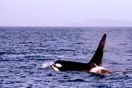 Orca in Kanada (Foto: S. Gugeler)
