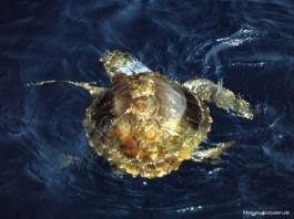 Meeresschildkröte (Foto: Rüdiger Hengl)