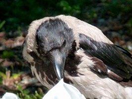 Die Nebelkrähe gehört wie die Elster zu den Rabenvögeln. (Foto: U. Burger)
