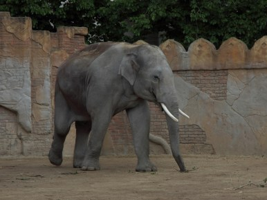 Asiatischer Elefant (Foto: Rüdiger Hengl)