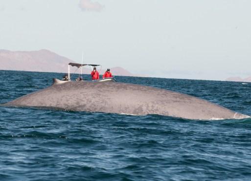 So groß ist ein Blauwal (Foto: Andrea Steffen)