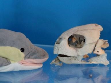 FINN mit Schädel einer Meeresschildkröte (Foto: Rüdiger Hengl)