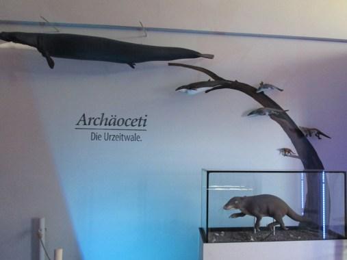 Im Glaskasten vorne rechts: der Vorfahre der Wale (Foto: Susanne Gugeler)