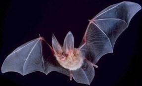 Langohr-Fledermaus (Foto: Wikipedia)