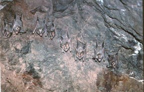 Fledermaus-Schwarm (Foto: Wikipedia)
