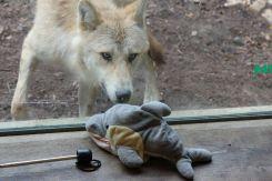 Begegnung mit einem Wolf (Foto: Rüdiger Hengl)