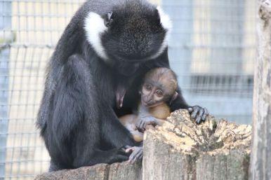 Vollbartmeerkatze - Mama mit Baby (Foto: Rüdiger Hengl)