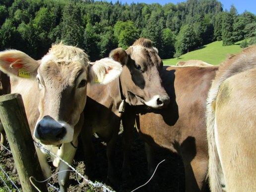Kühe haben große Ohren. (Foto: Susanne Gugeler)