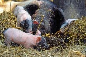 Schweine-Familie (Foto: Rüdiger Hengl)