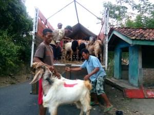 Puluhan ekor kambing PE asal Dermaji sedang dinaikkan ke truk untuk dijual ke Jakarta