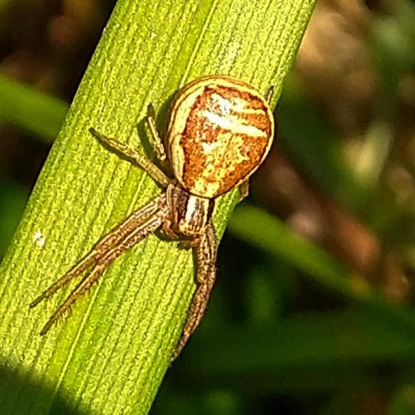 Moeraskrabspin (Xysticus ulmi)