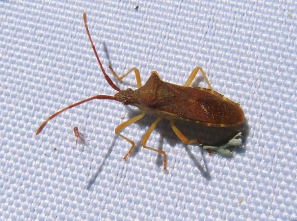 Smalle randwants (Gonocerus acuteangulatus)