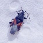 Lindenspitskop (Oxycarenus lavaterae )