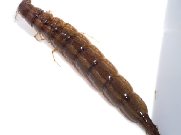 Detuimelaar(Cybister lateralimarginalis)