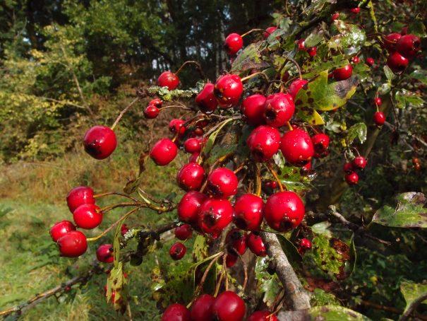 Meidoorn vruchten
