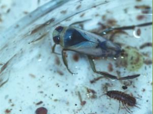 Tengere bootsmannetje(Notonecta viridis)