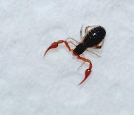 pseudoschorpioen(Pseudoscorpionida)