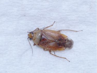 Valse bruine kortsprietwants (Agnocoris rubicundus)
