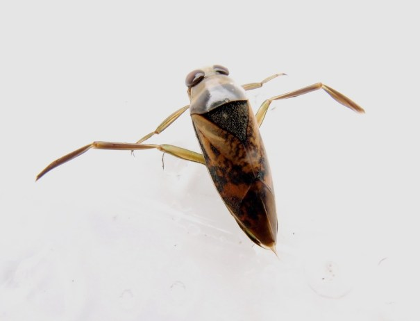 Gevlekt bootsmannetje (Notonecta maculata)