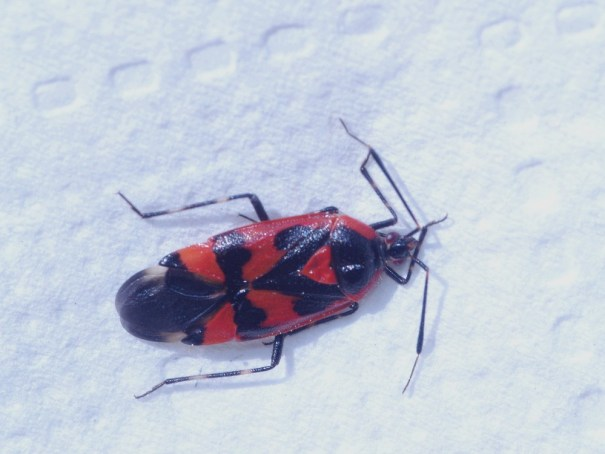 Rood-zwarte halsbandwants(Deraeocoris trifasciatus)