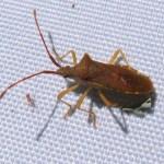 Smalle randwantsGonocerus acuteangulatus)