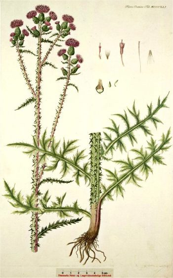 Kale Jonker - Cirsium palustre