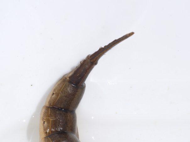 Tuimelaar (larve) staart